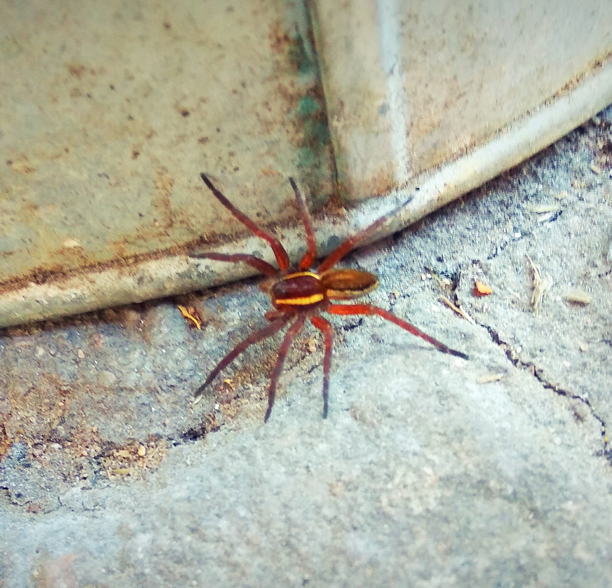 Picture of Dolomedes fimbriatus (Raft Spider) - Dorsal
