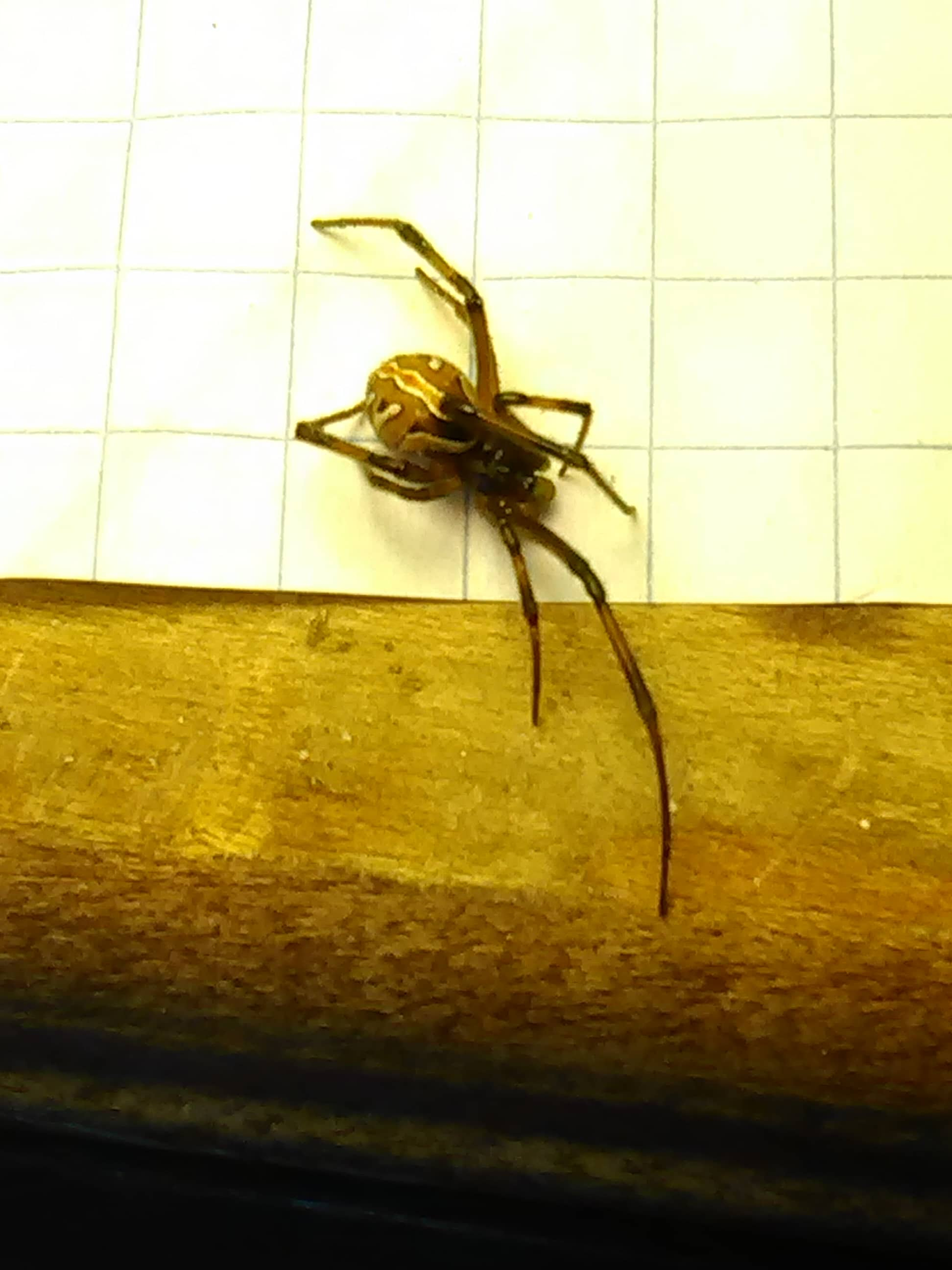 Picture of Latrodectus hesperus (Western Black Widow) - Male - Dorsal,Penultimate