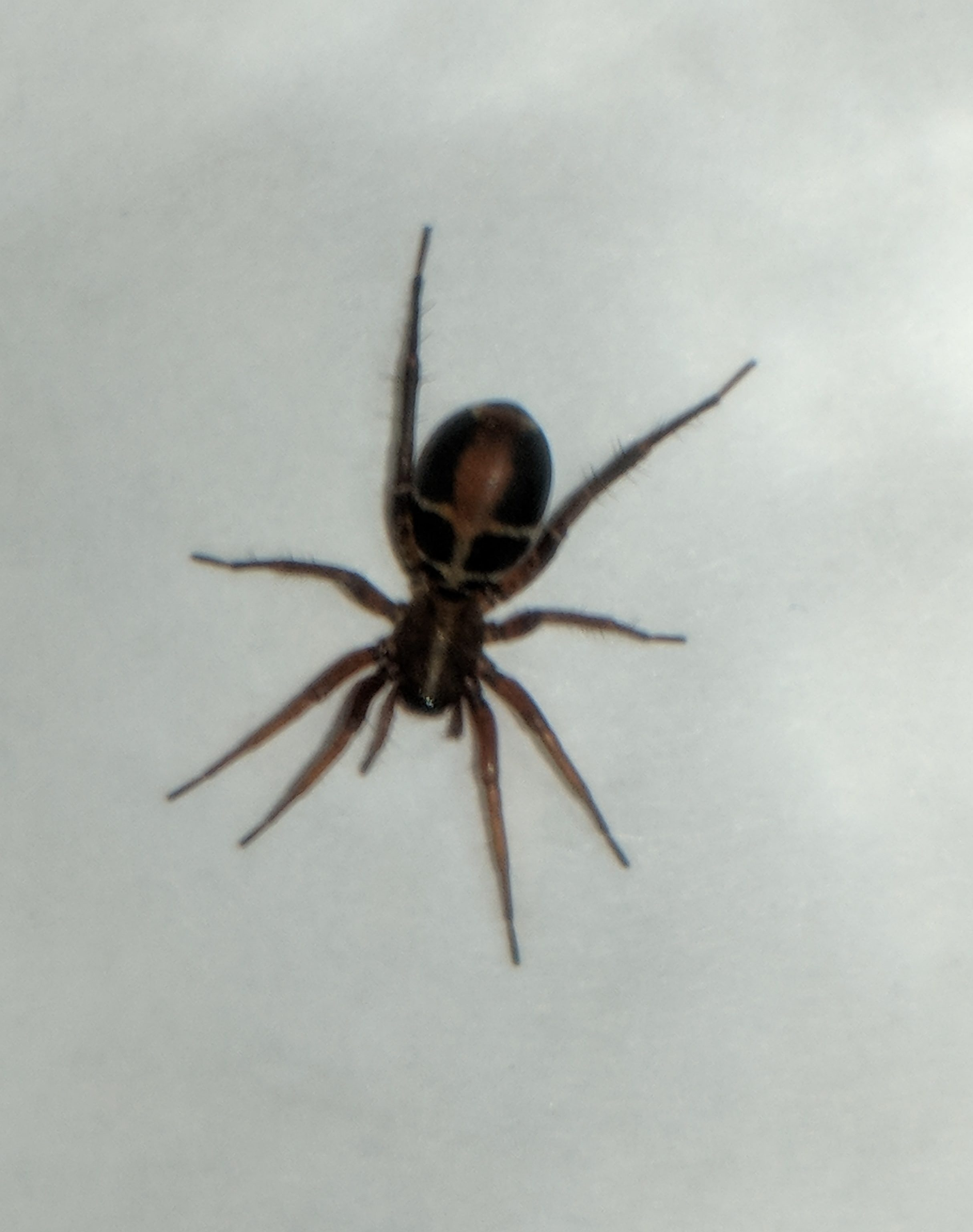Picture of Castianeira thalia - Dorsal