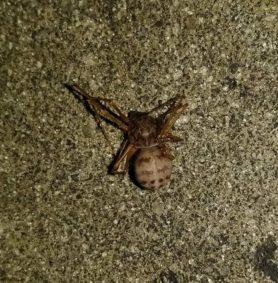 Picture of Scytodes spp. - Dorsal