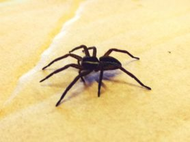 Picture of Dolomedes fimbriatus (Raft Spider) - Lateral