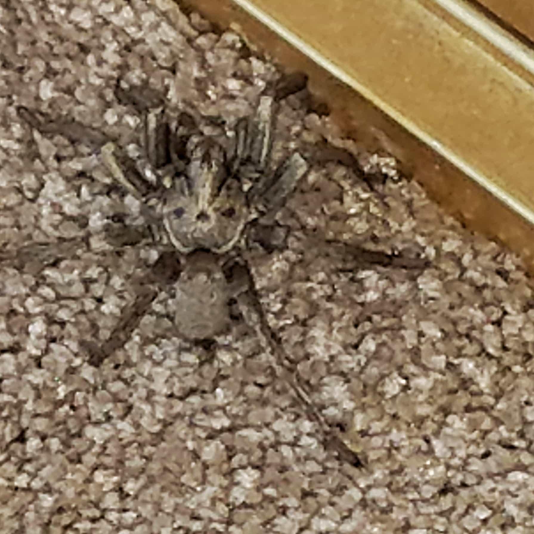 Picture of Calisoga (False Tarantulas) - Dorsal