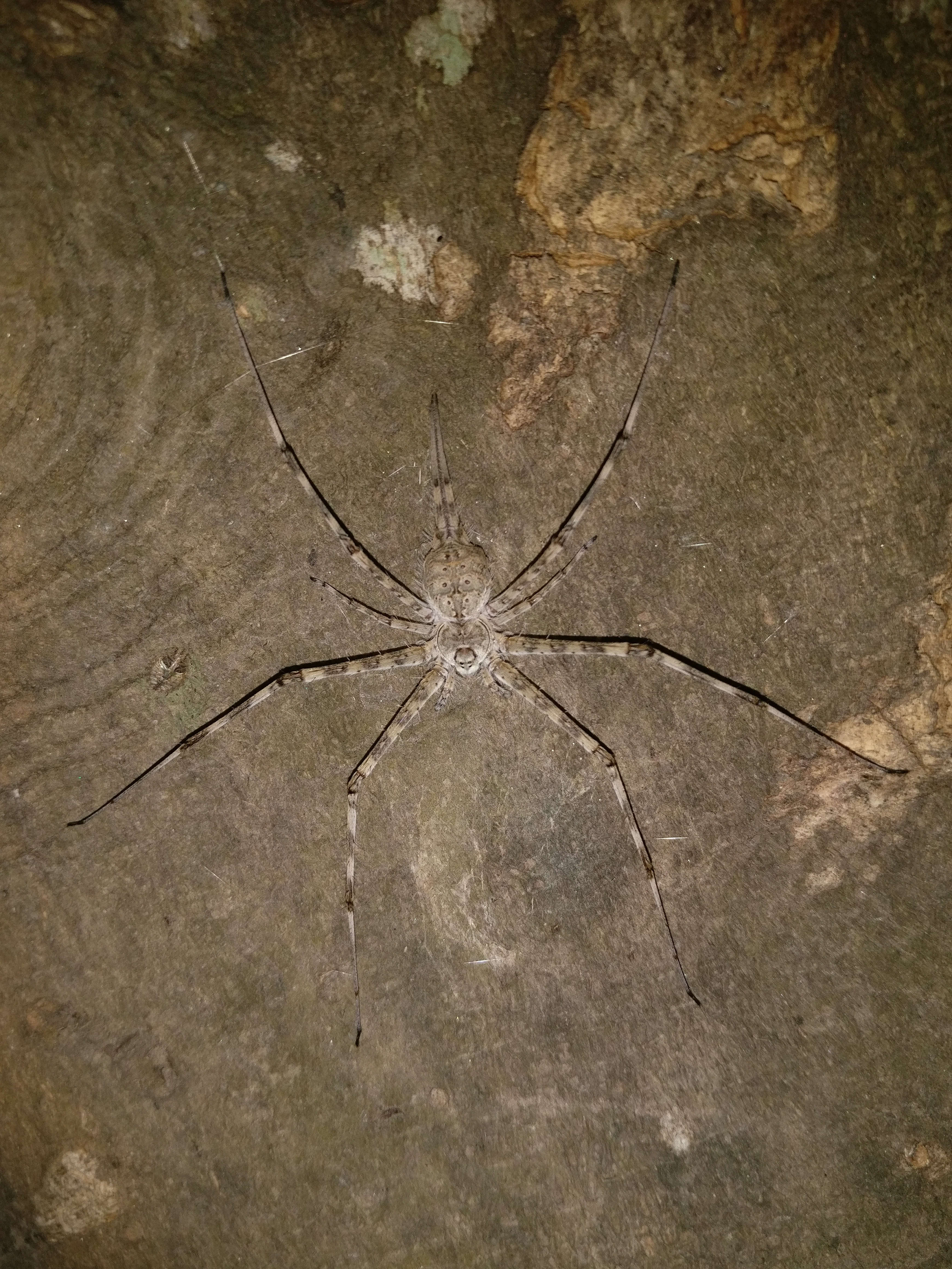 Picture of Hersiliidae (Two-tailed Spiders)