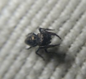 Picture of Bianor spp. - Dorsal