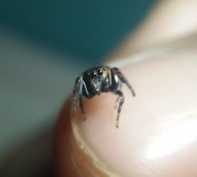 Picture of Bianor spp. - Eyes