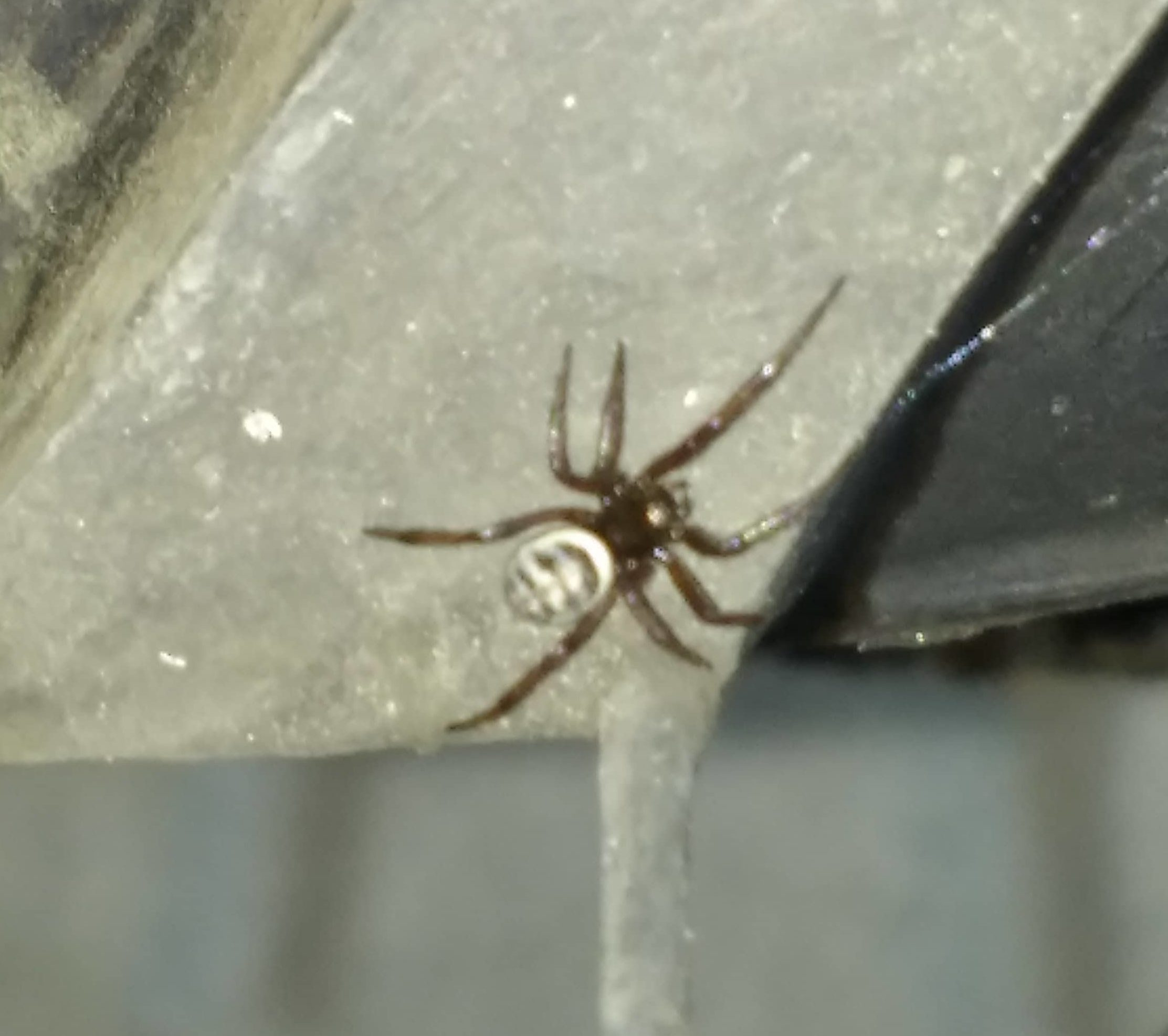 Picture of Steatoda albomaculata (White-spotted False Widow) - Dorsal