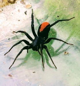Picture of Castianeira spp. - Dorsal