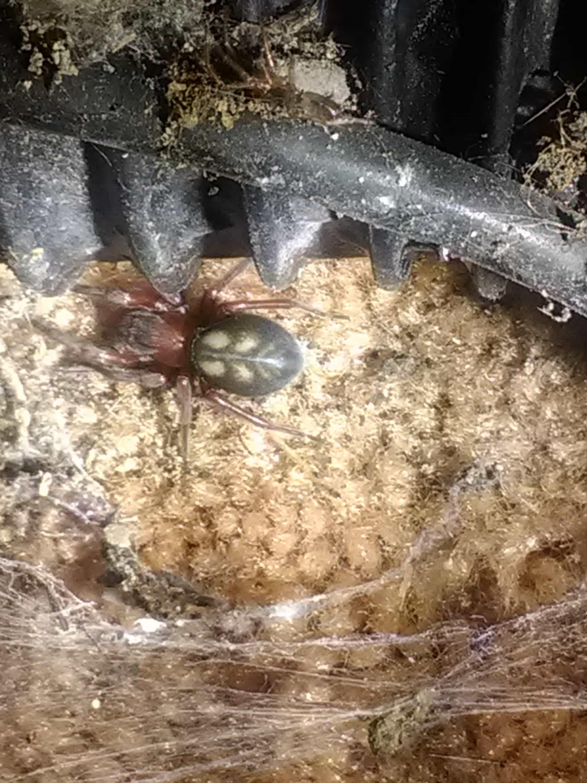 Picture of Callobius - Dorsal,Webs