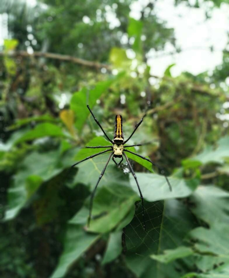 Picture of Nephila pilipes (Giant Golden Orb-weaver) - Dorsal,Webs