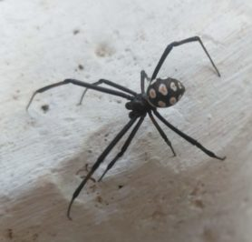 Picture of Latrodectus tredecimguttatus (European Black Widow) - Male - Dorsal