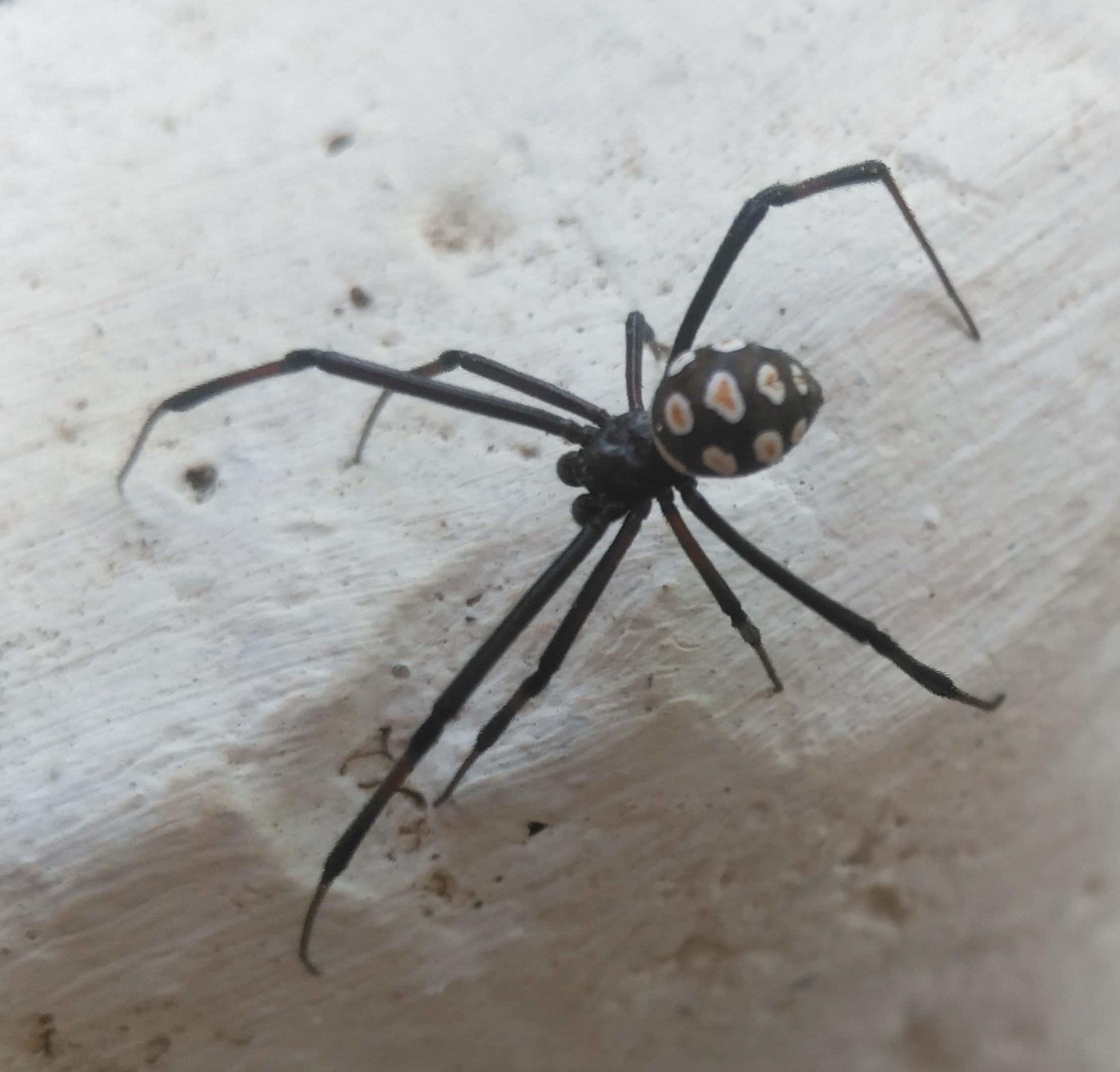 Picture of Latrodectus tredecimguttatus (European Black Widow) - Male - Dorsal