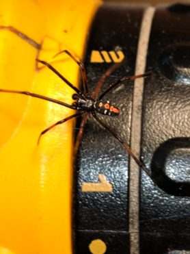 Picture of Latrodectus variolus (Northern Black Widow) - Male - Dorsal