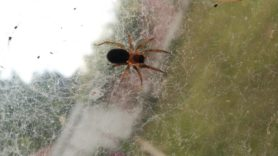 Picture of Amaurobiidae (Hacklemesh Weavers) - Dorsal,Webs