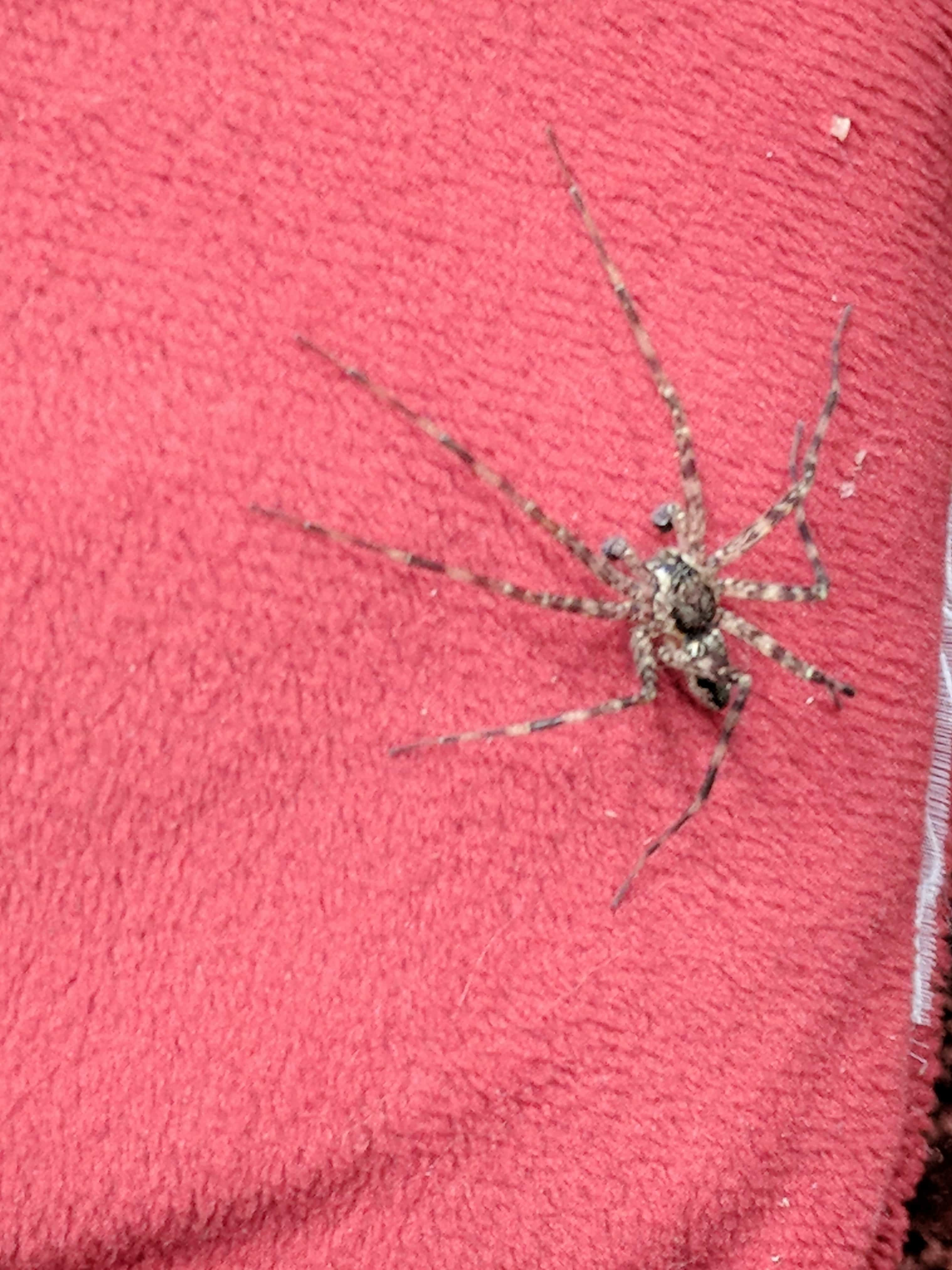Picture of Dolomedes tenebrosus (Dark Fishing Spider) - Male - Dorsal