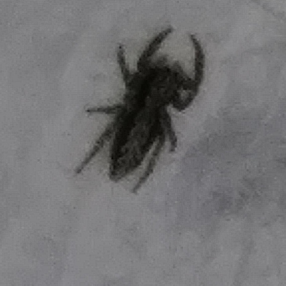 Picture of Platycryptus - Dorsal