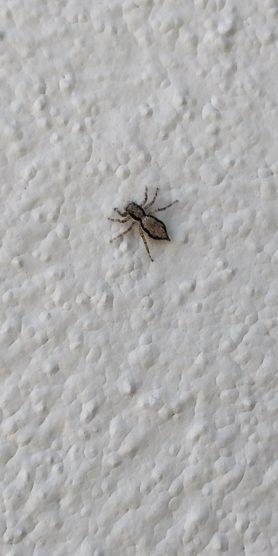 Picture of Menemerus bivittatus (Gray Wall Jumper) - Dorsal