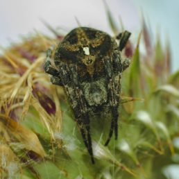 Featured spider picture of Araneus angulatus
