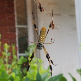Picture of Nephila clavipes (Golden Silk Orb-weaver) - Dorsal,Webs