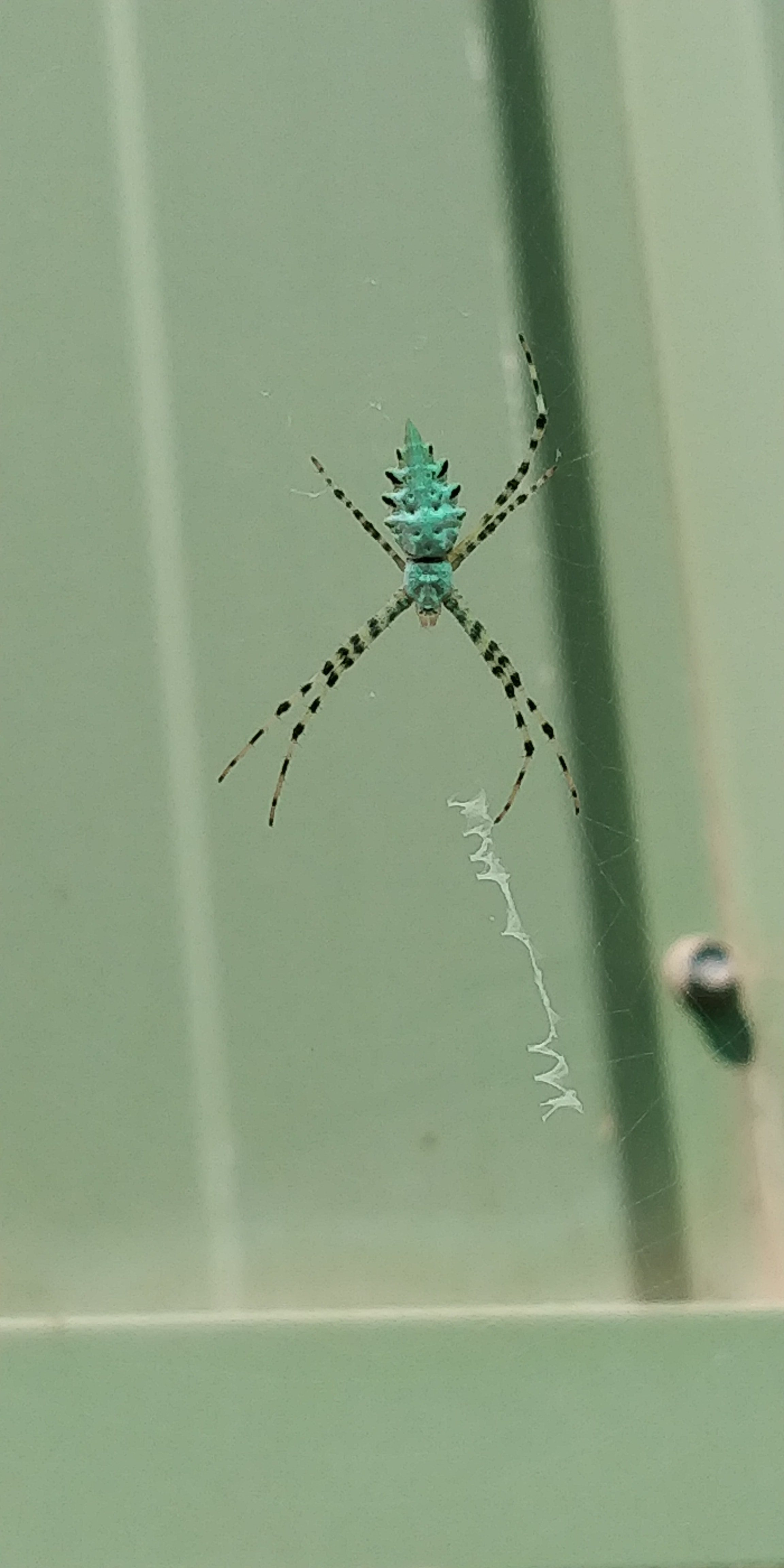 Picture of Argiope lobata (Lobed Argiope) - Dorsal,Webs