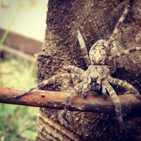 Picture of Dolomedes tenebrosus (Dark Fishing Spider) - Dorsal,Eyes