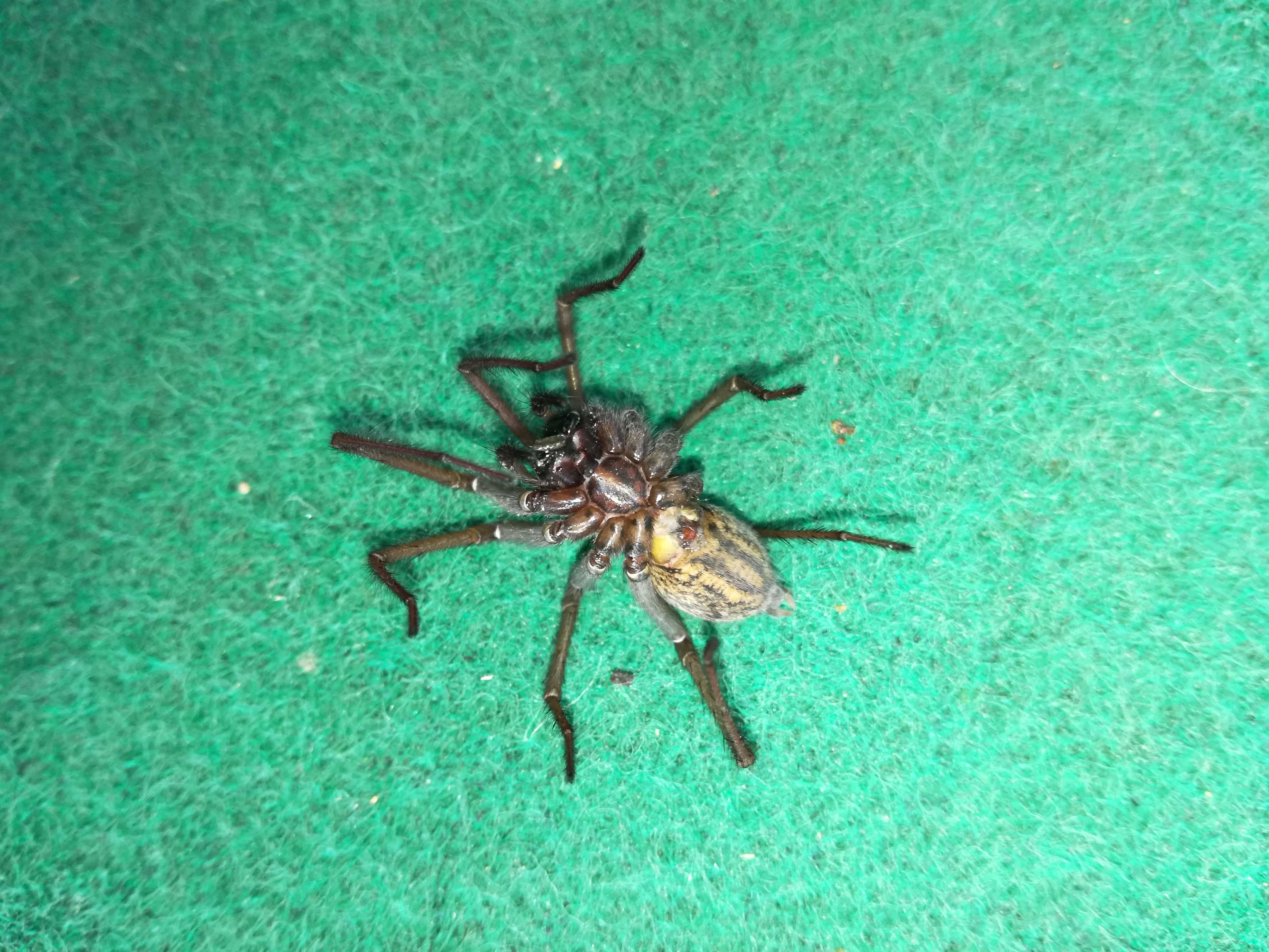 Picture of Eratigena - Female - Ventral