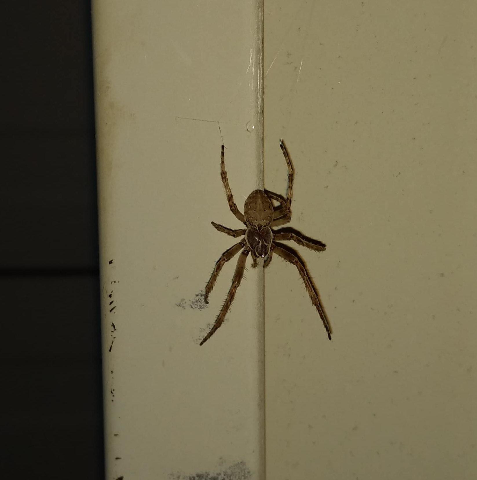 Picture of Larinioides sclopetarius (Bridge Orb-weaver) - Dorsal