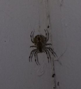 Picture of Araneus spp. (Angulate & Round-shouldered Orb-weavers) - Ventral