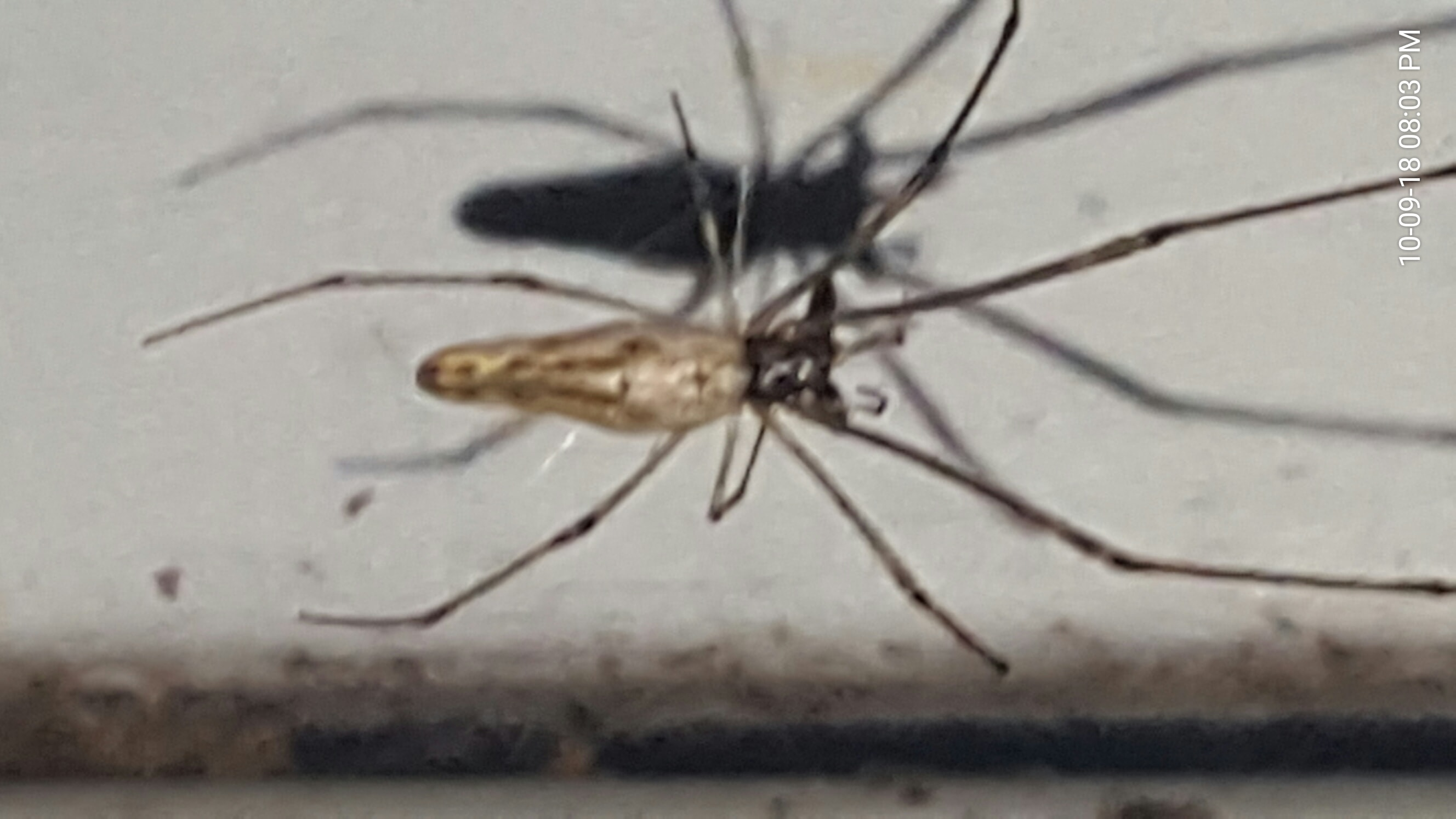 Picture of Tetragnatha - Dorsal