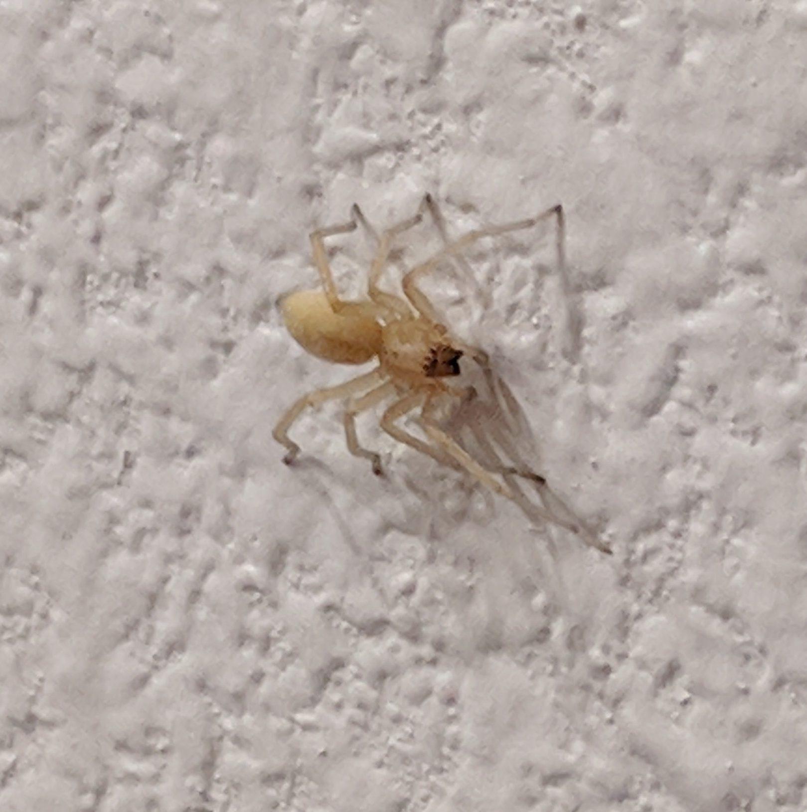 Picture of Cheiracanthium mildei (Long-legged Sac Spider) - Dorsal
