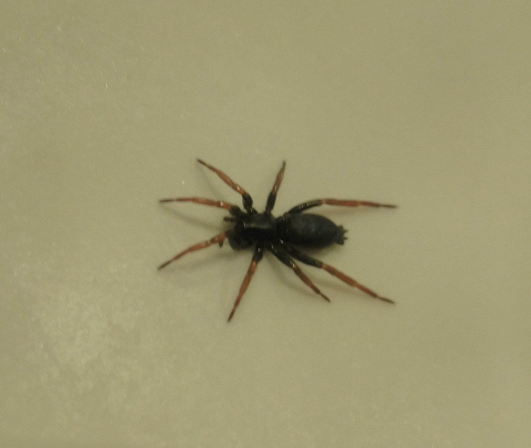 Picture of Trachyzelotes pedestris (Yellow-legged Zipper Spider) - Dorsal
