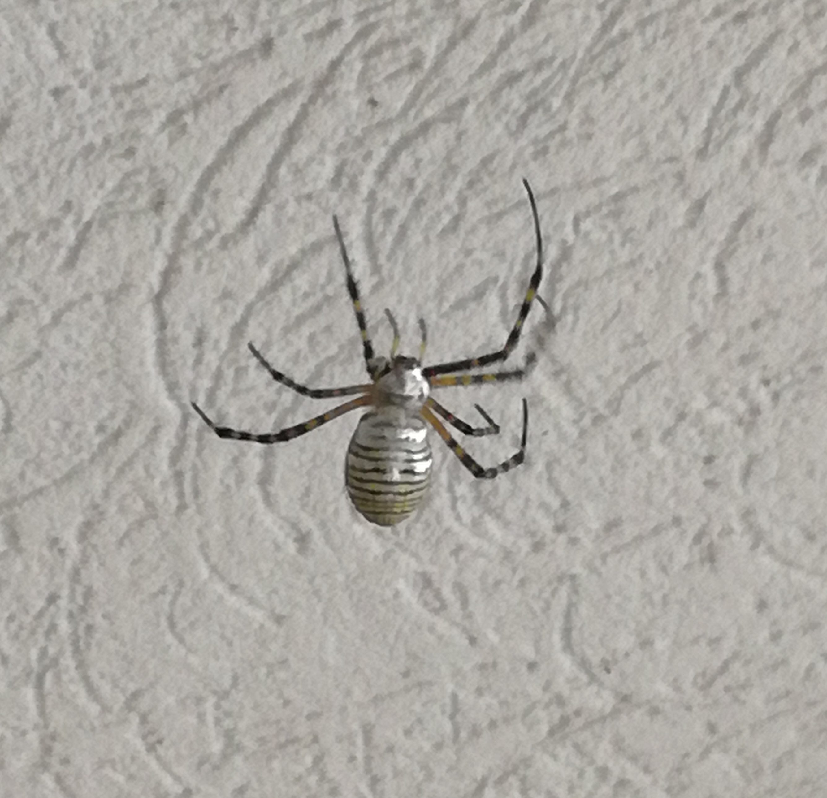 Picture of Argiope trifasciata (Banded Garden Spider) - Dorsal