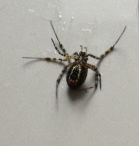 Picture of Argiope trifasciata (Banded Garden Spider) - Ventral