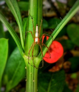 Picture of Oxyopes shweta (White Lynx Spider) - Dorsal