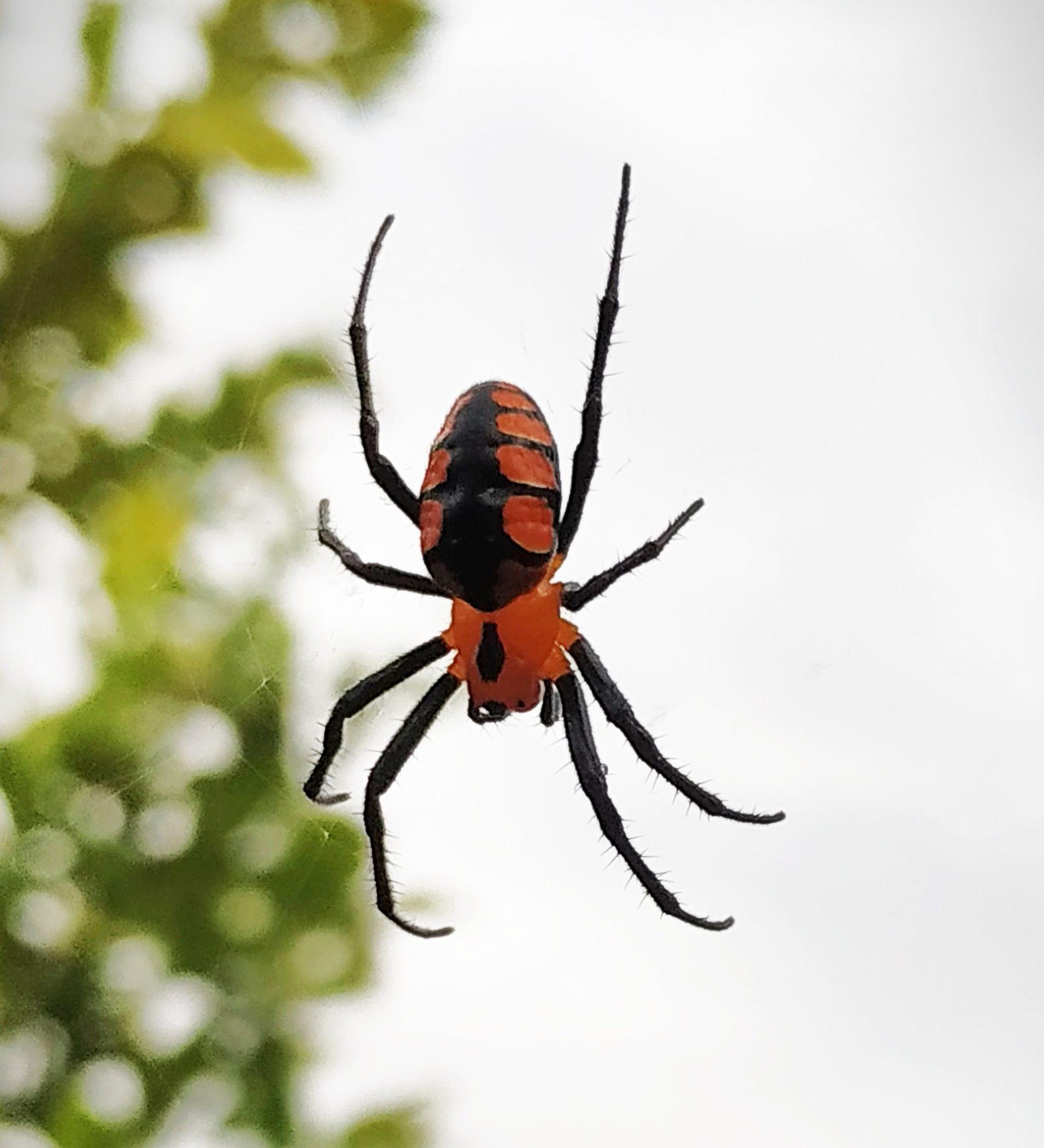 Picture of Alpaida latro - Dorsal,Webs