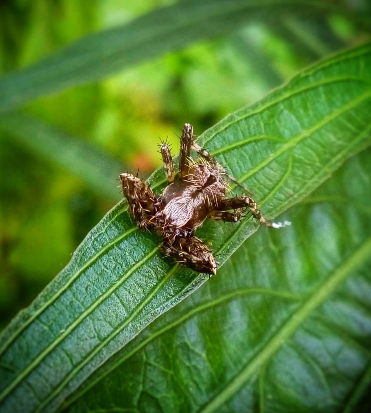 Picture of Araneidae (Orb-weavers) - Male - Dorsal
