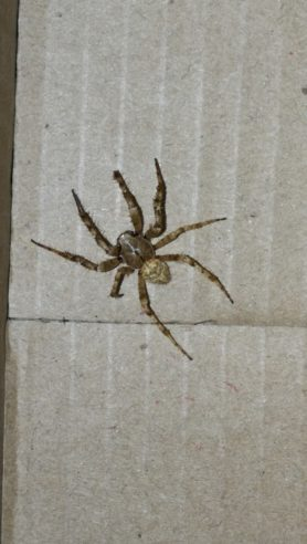 Picture of Araneidae (Orb-weavers) - Male - Dorsal