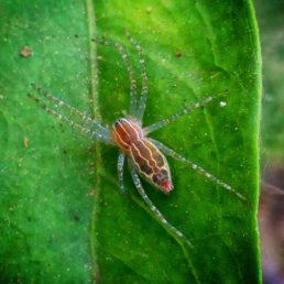 Featured spider picture of Dendrolycosa putiana