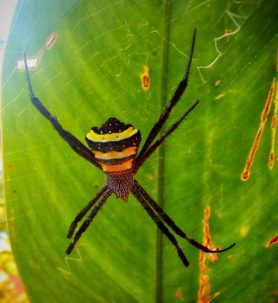 Picture of Argiope pulchella - Dorsal,Webs