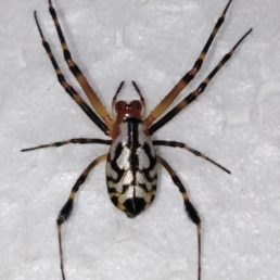 Featured spider picture of Opadometa fastigata (Pear-shaped Leucauge)