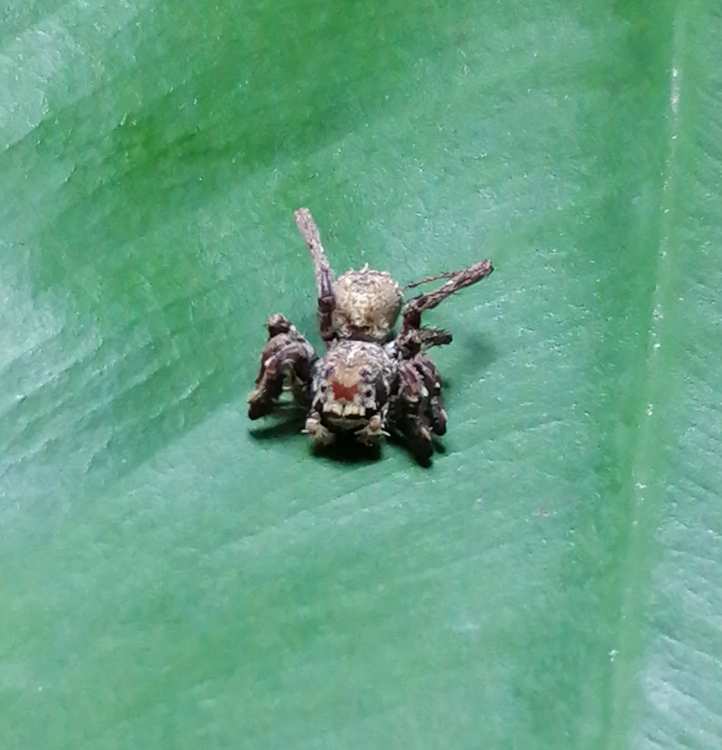 Picture of Salticidae (Jumping Spiders) - Dorsal