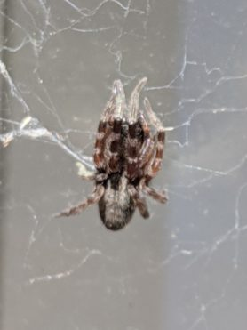 Picture of Badumna spp. - Dorsal,Webs