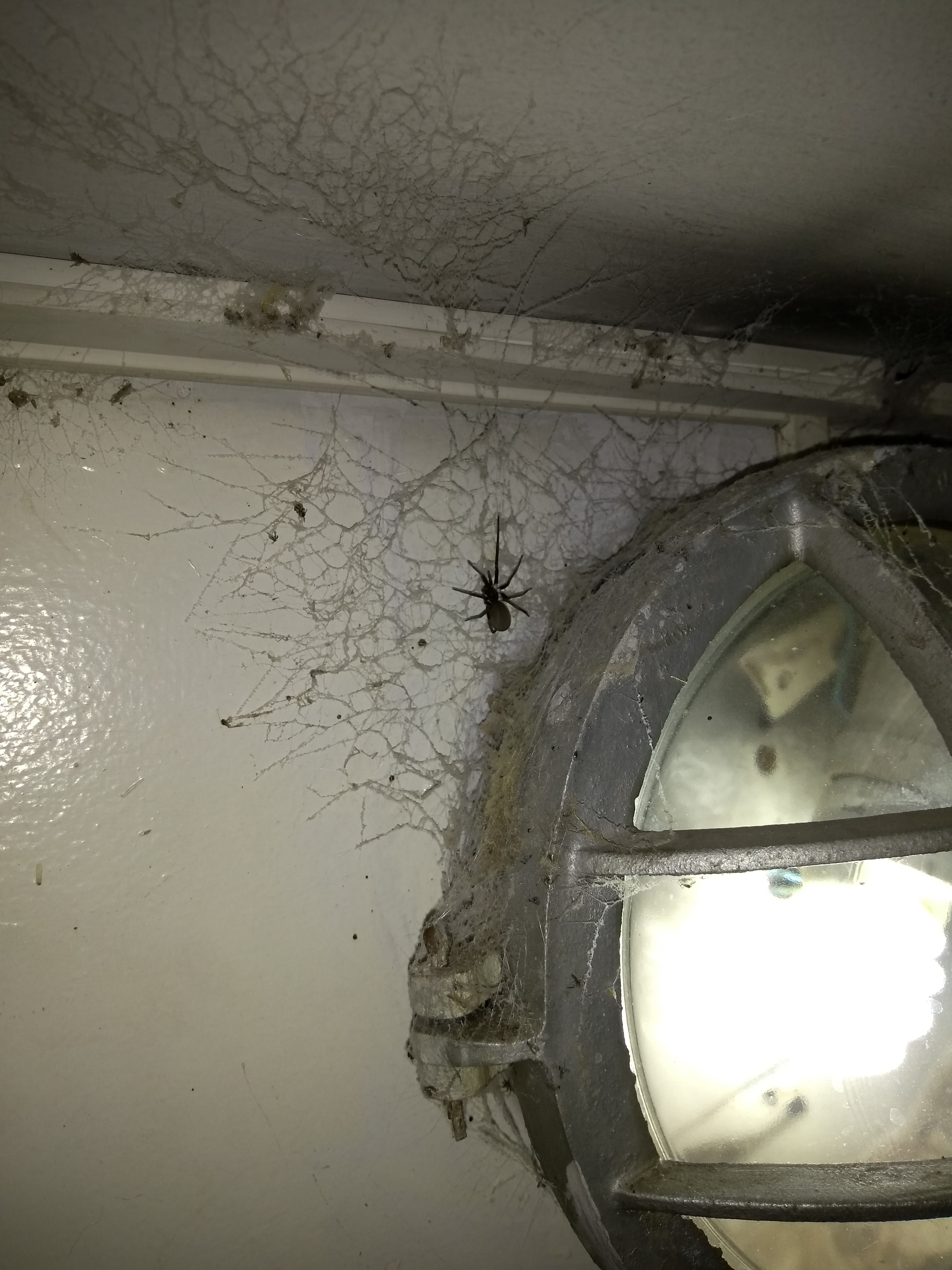 Picture of Kukulcania hibernalis (Southern House Spider) - Female - Dorsal,Webs