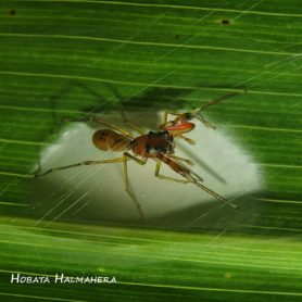 Picture of Diolenius spp. - Female - Dorsal,Egg sacs