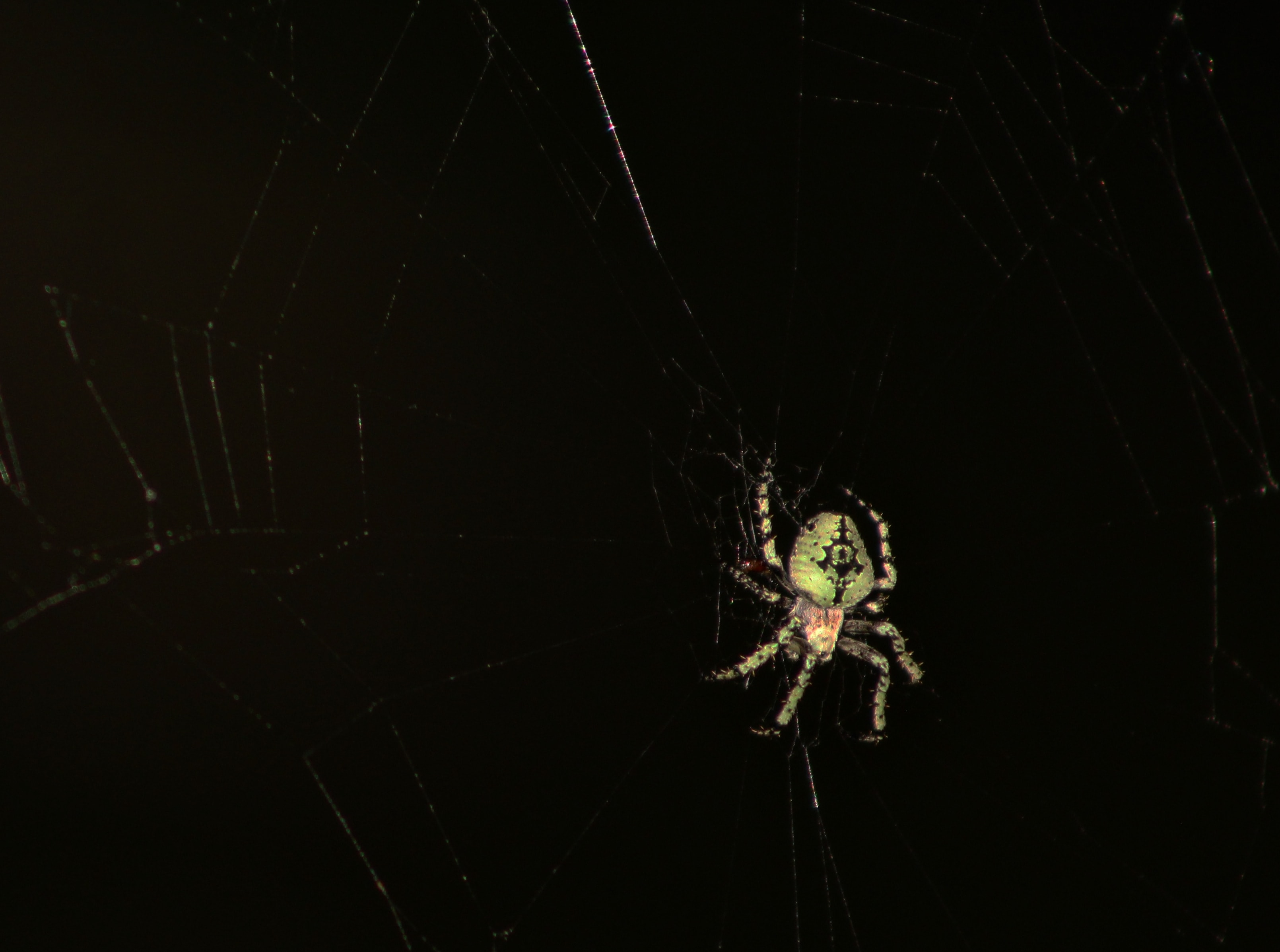 Picture of Eustala - Dorsal,Webs