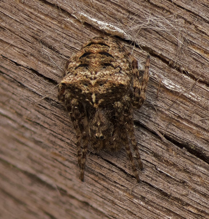 Picture of Gibbaranea bituberculata - Dorsal