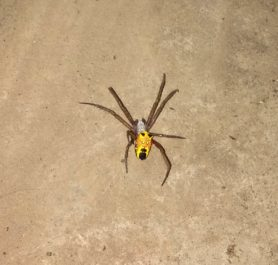 Picture of Cyrtophora spp. (Tent-web Spiders) - Dorsal