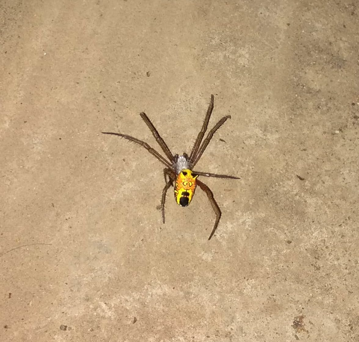 Picture of Cyrtophora (Tent-web Spiders) - Dorsal
