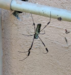 Picture of Nephila clavipes (Golden Silk Orb-weaver) - Dorsal