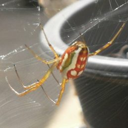Featured spider picture of Leucauge festiva (Masked Vlei Spider)