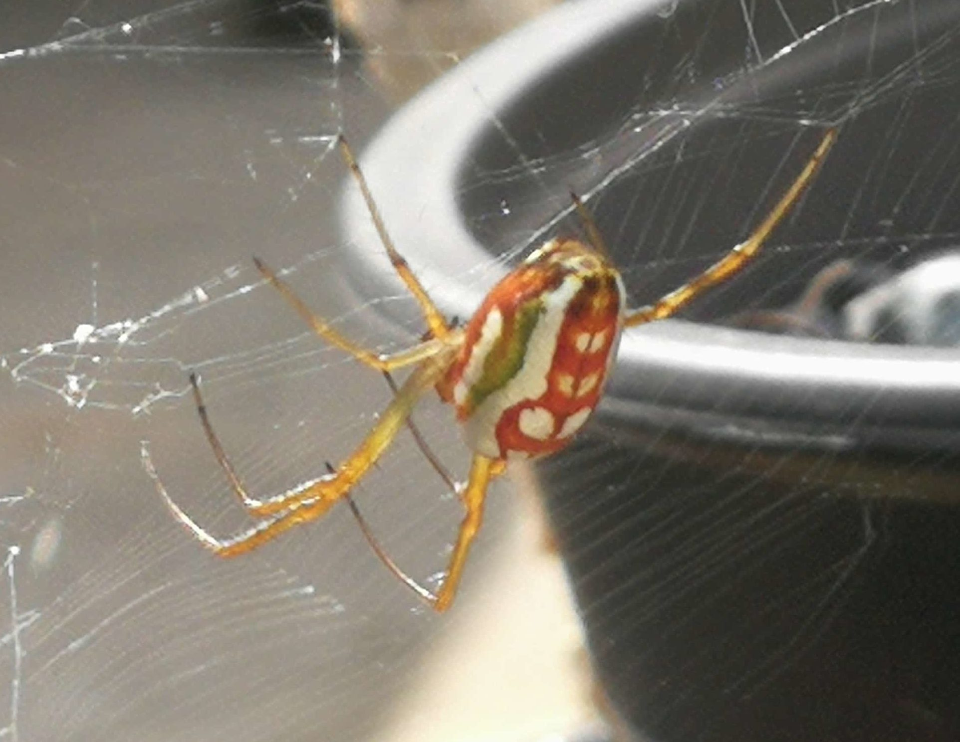 Picture of Leucauge festiva (Masked Vlei Spider) - Lateral,Webs